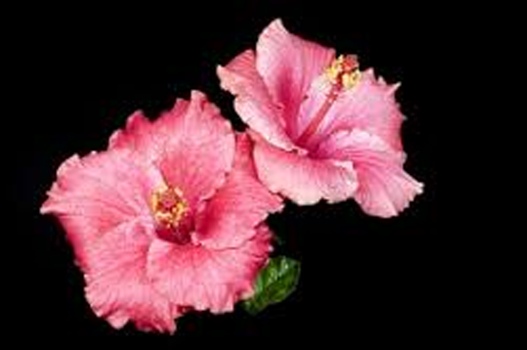Hibiscus Powder And 5 Good Reasons To Use It Home Farm Herbery