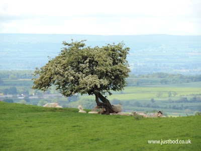 Lone Hawthorn tree in blossom, near Osmotherley, North Yorkshire