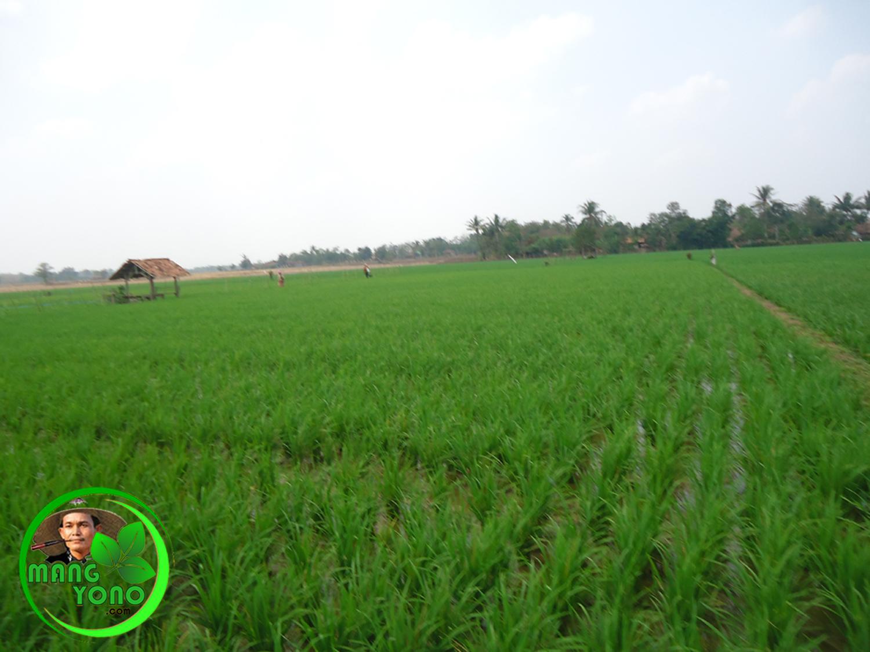 Mencoba menggunakan pupuk NPK Mutiara untuk tanaman padi