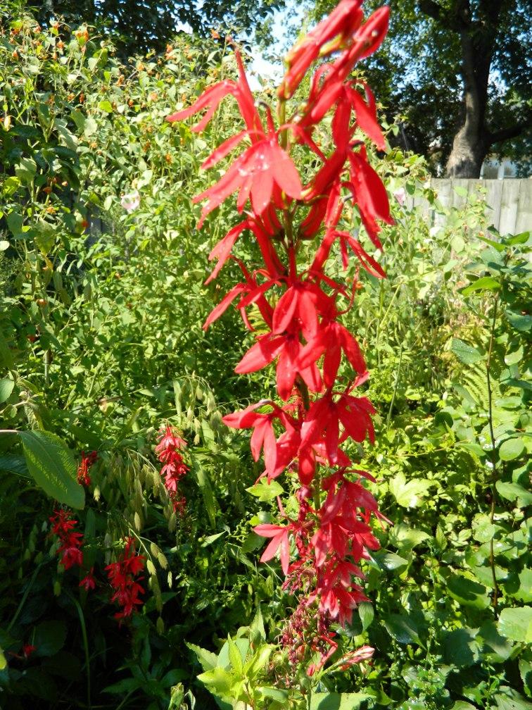 Cardinal Flower Lobelia cardinalis ecological gardening by garden muses-a Toronto gardening blog