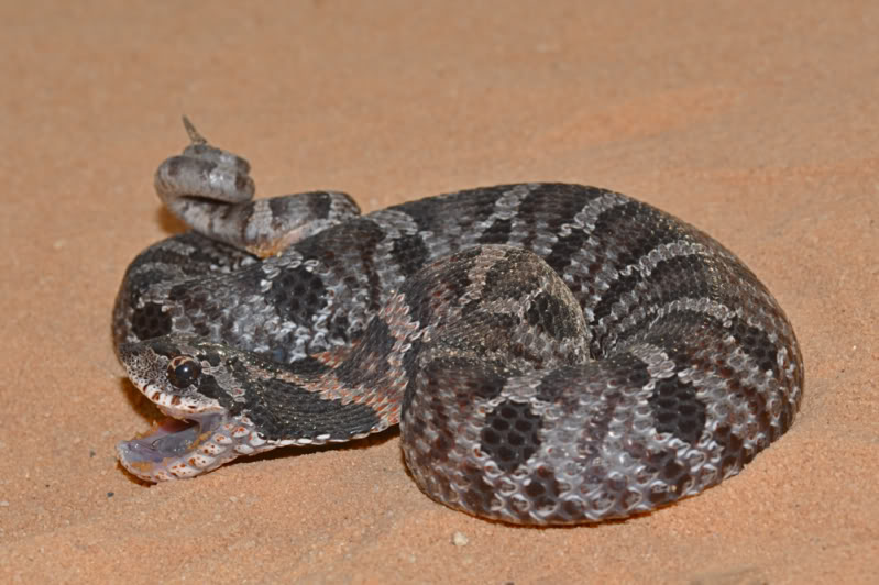 Rat Snake Elaphe Obsoleta Spiloides D