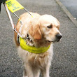 Training a guide dog: