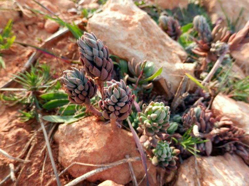 Una suculenta mediterránea con muchas propiedades medicinales y cuyas hojas también se preparan en encurtido