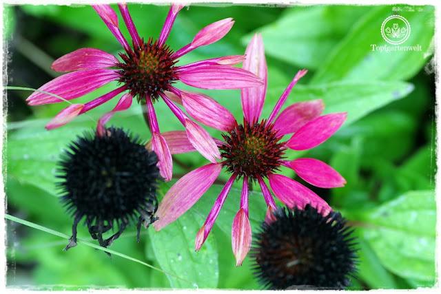 Gartenblog Topfgartenwelt Buchvorstellung Das 5-Pflanzen Prinzip - Genial einfach gestalten: Roter Sonnenhut mit Samenständen