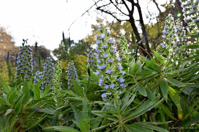 Echium candicans, Echium fastuosum, orgullo de Madeira, Tajinaste, Pride of Madeira