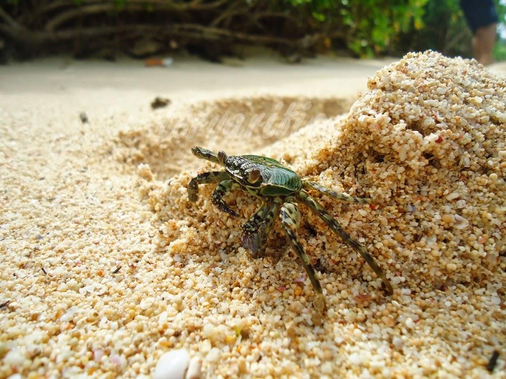 Satwa kepiting di pantai goa cina malang, fotografi kepiting, fotografi pantai goa cina