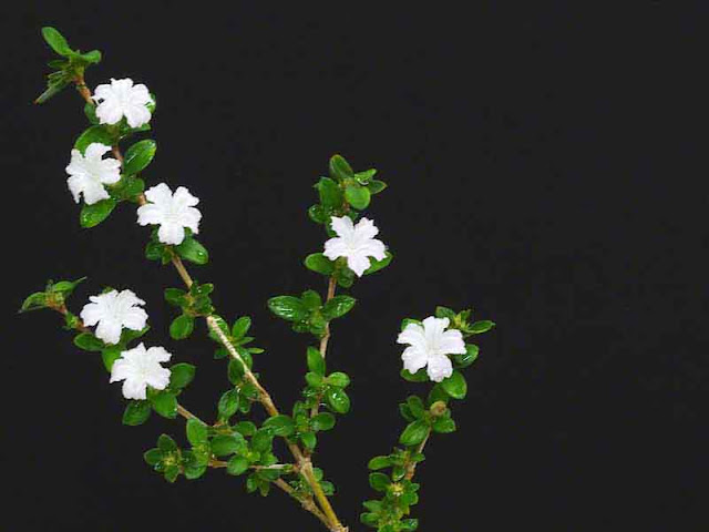 white flowers, leaves, stems, plant