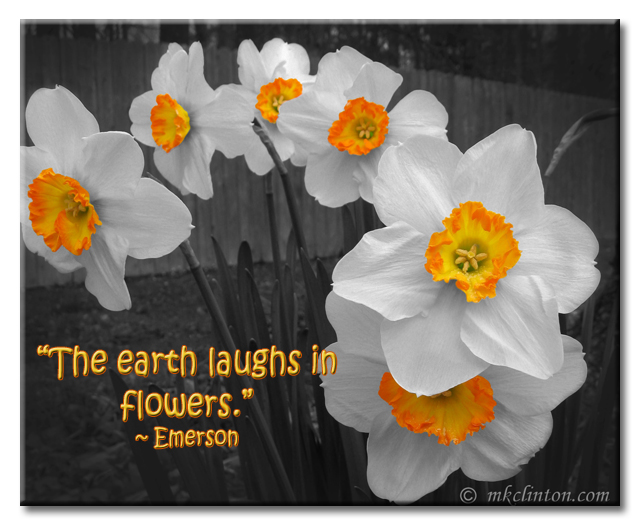 The earth laughs in flowers. daffodil meme