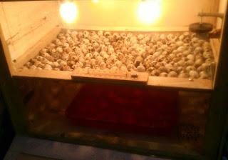 Cara Menetaskan Telur Puyuh