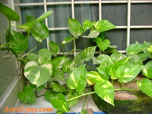 Use Money Plants to Increase Wealth and Money