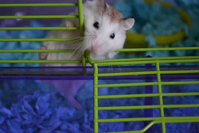 Roborovski Hamster | American Items shipped to Saudi Arabia
