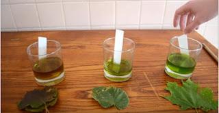 Percobaan Menguji Klorofil Pada Daun