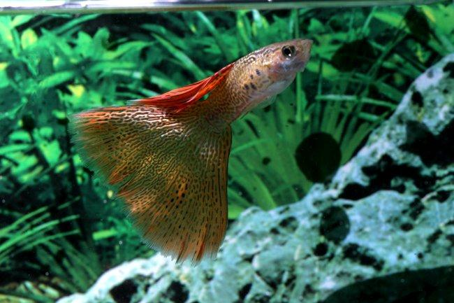 the  fish is probably the most popular aquarium fish species in