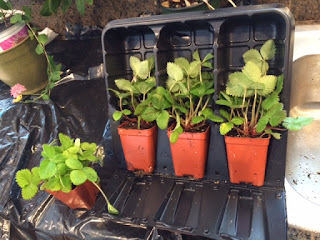 Introduction to Alpine Strawberries, Fragaria Vesca by Jan Boone, Master Gardener
