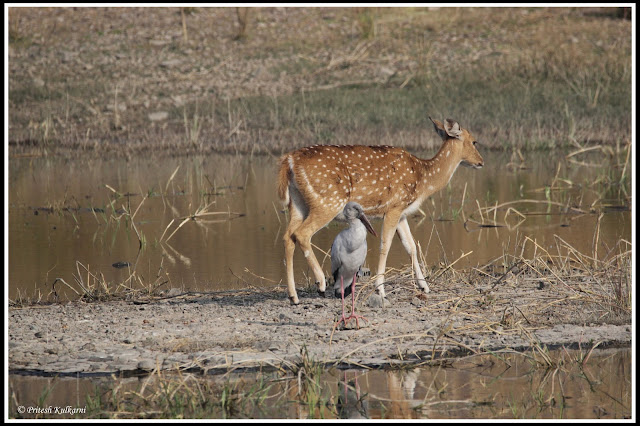 Open billed stork and Spotted deer