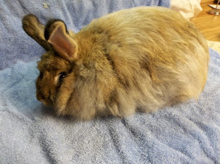 raising rabbits for fiber, Angora Rabbits