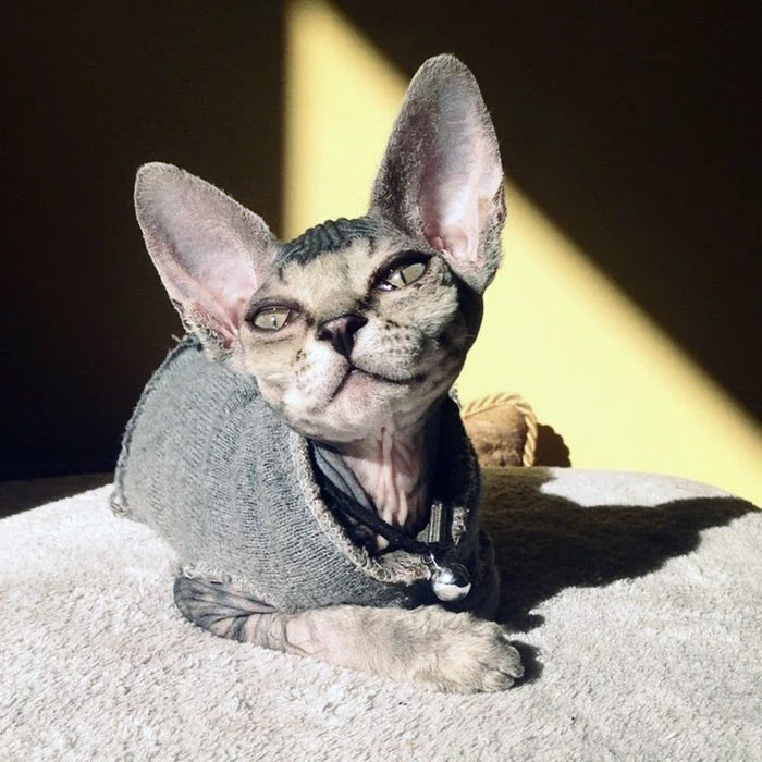 30 Adorable Pictures Of Sphynx Cats Everyone Will Love