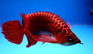Gambar arwana banjar super red