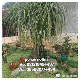 Tukang Taman penjual pohon nolina dengan harga paling murah poto pohon hias
