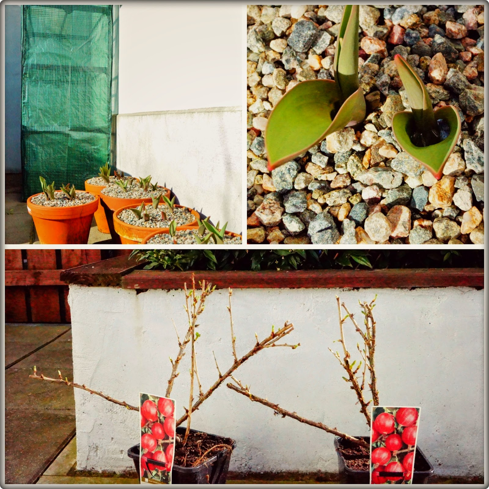 little greenhouse, tulips and red gooseberries - 'growourown.blogspot.com' ~ An allotment blog