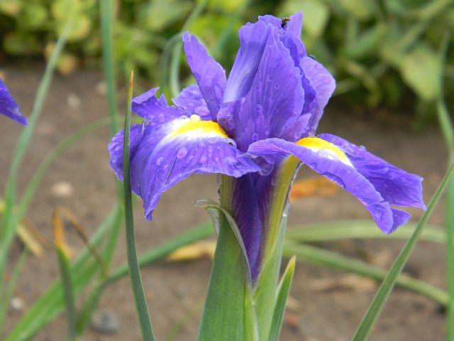 kwiaty ogrodowe, kwiaty wiosenne, żółty, fioletowy
