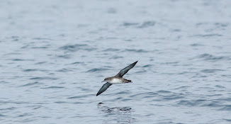 Balearic Shearwater,At Sea Off Scarborough,North Yorkshire