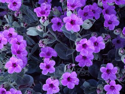flores-silvestres-de-color-lila