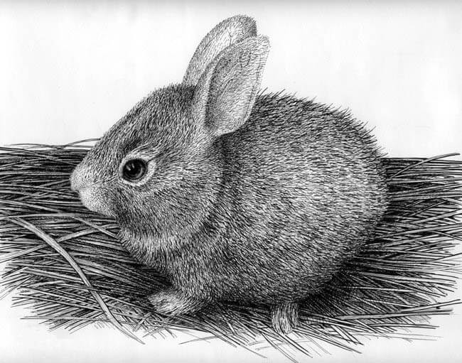 03-Bunny-Rabbit-Rens-Ink-Animal-Wildlife-Pen-and-Ink-Stippling-Drawings