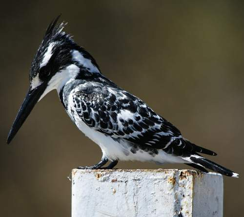 Indian birds - Picture of Pied kingfisher - Ceryle rudis
