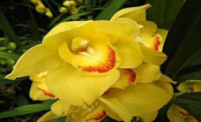 Orquídeas Cymbidium - Aprenda Tudo Sobre Elas e Como Cultivá-las
