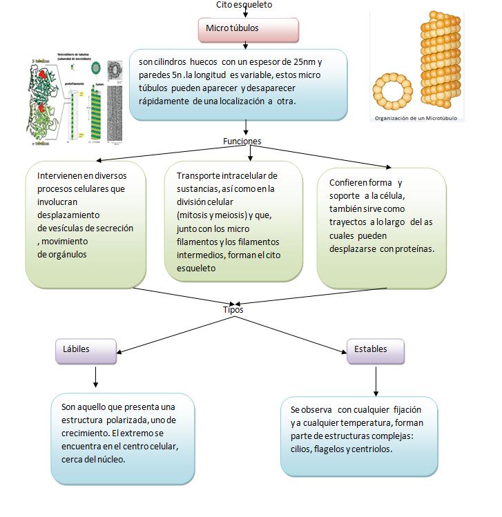 Biología Celular Microtubulos