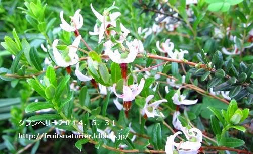 クランベリーの開花-クランベリーの育て方
