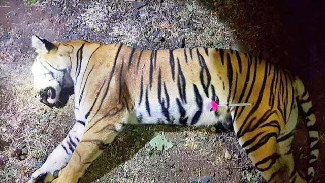 Matan a la tigresa que devoró a 13 personas en La India