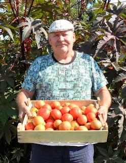 Собираю безрассадные помидоры, 23 августа