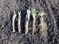 Allotment Crops - Black Salsify