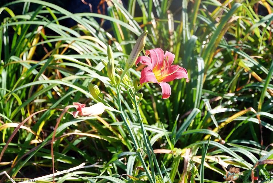 紅色金針花