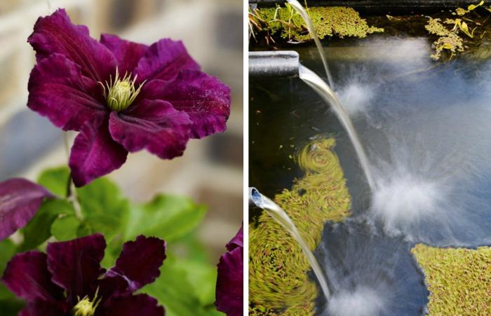 """Clematis """"Etoile Violette"""" y Lema minor flotando en la fuente"""