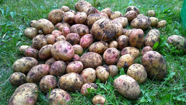 Kartoffel Cara (c) by Joachim Wenk