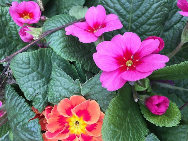 Primeln pink