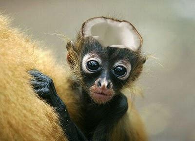 manipulasi monyet dengan kepala batok
