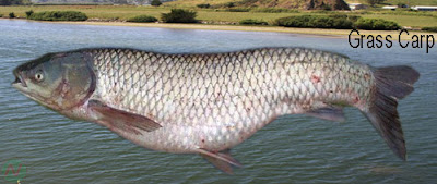 grass carp, grass carp fish