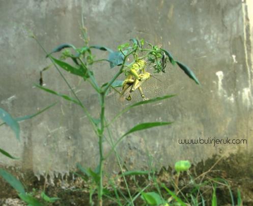 Belalang di pohon cabe