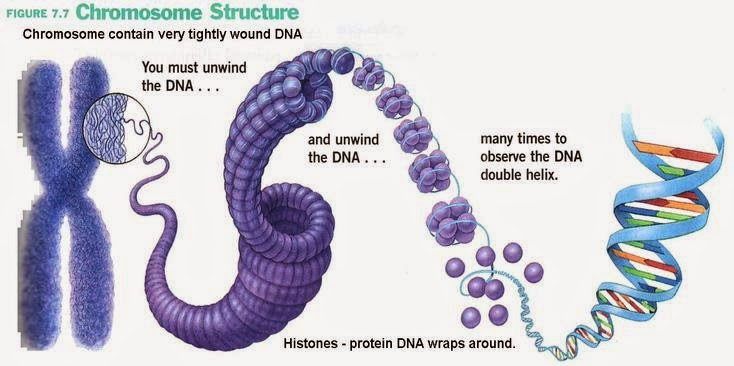 # 29 DNA structure | Biology Notes for A level