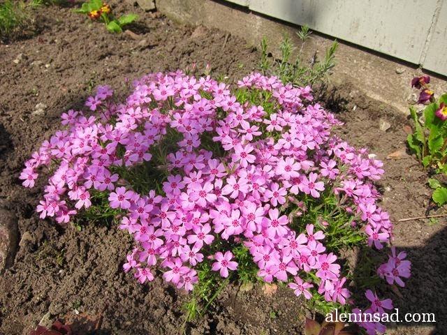 флокс шиловидный, phlox subulata, почвопокровные растения, цветы, алёнин сад, мульча