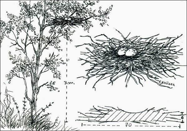 nido de chuña patas negra Chunga burmeisteri