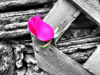 pink rose in black and white picture