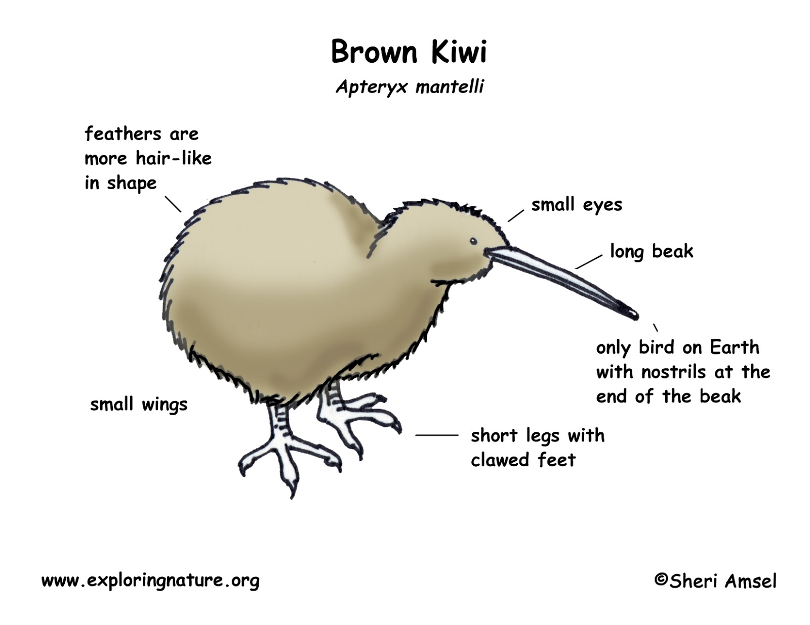 house fly anatomy diagram apc ups battery wiring romahapa junior room what is a kiwi