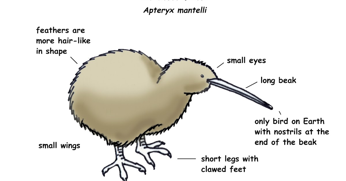 Image result for diagram of a kiwi