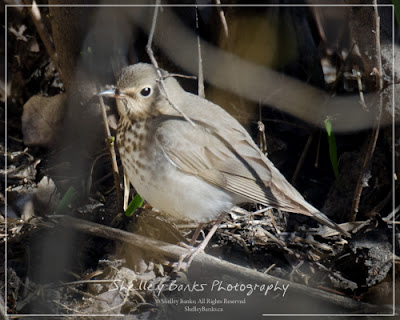 Swainson's Thrush. Copyright © Shelley Banks, all rights reserved.