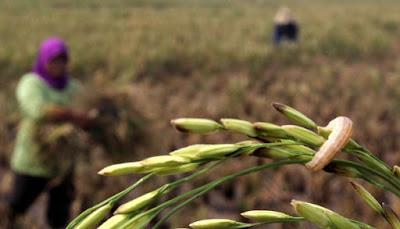 Petani Gagal Panen, Berharap Asuransi Pertanian Turun